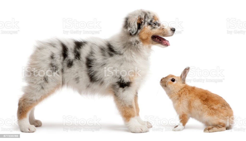 Blue Merle Australian Shepherd Puppy Playing With Rabbit Sitting In Front Of White Background Stock Photo Download Image Now Istock
