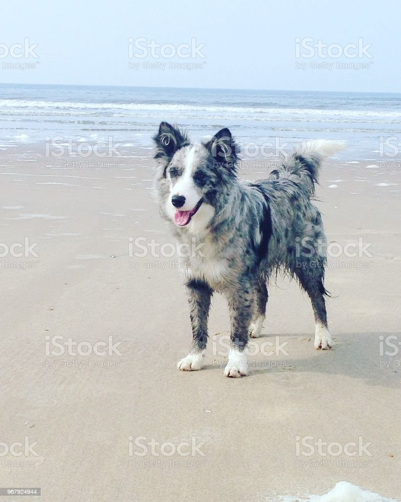 Blue Merle Border Collie At The Beach Stock Photo Download Image Now