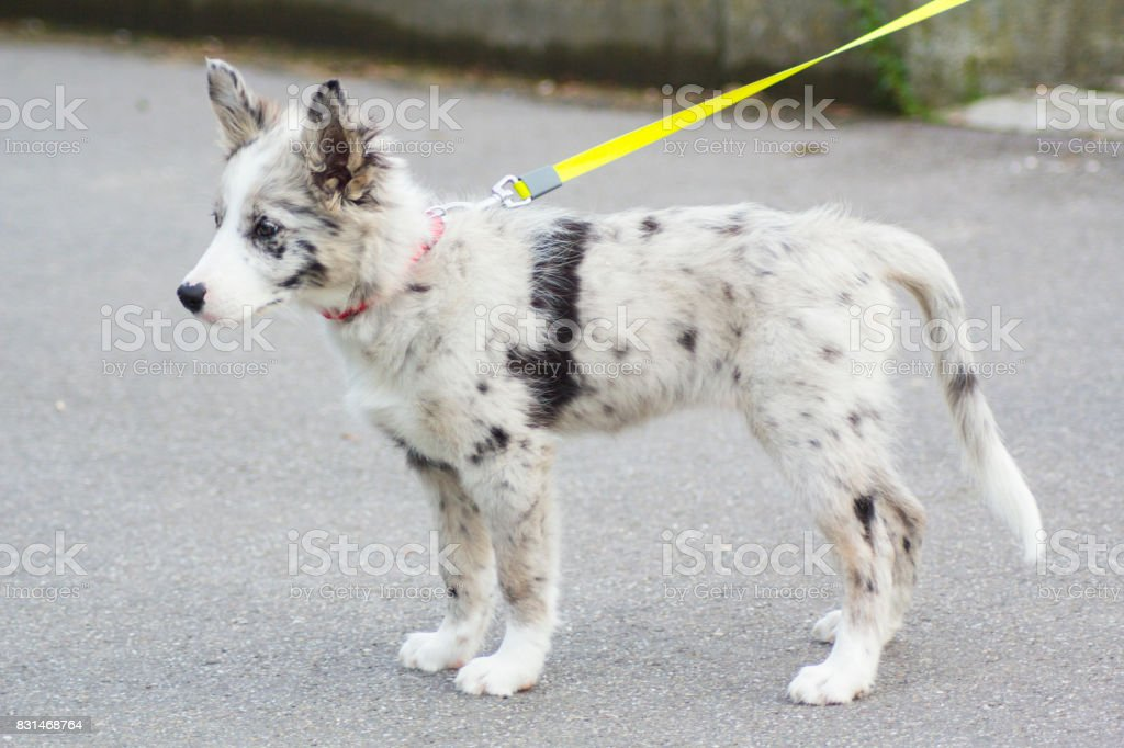 photo libre de droit de chiot border collie bleu merle banque d