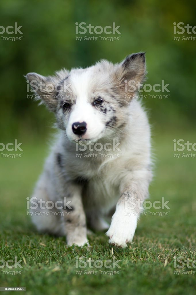 Blue Merle Border Collie Puppy Cute Stock Photo Download Image Now Istock