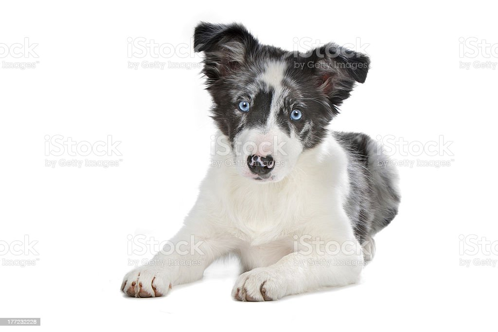 Blue Merle Border Collie Puppy Stock Photo Download Image Now Istock