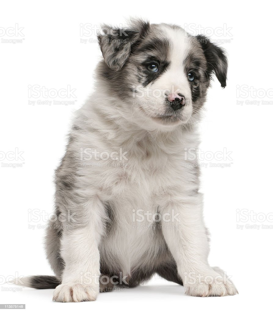 Blue Merle Border Collie Puppy Sitting White Background Stock Photo Download Image Now Istock