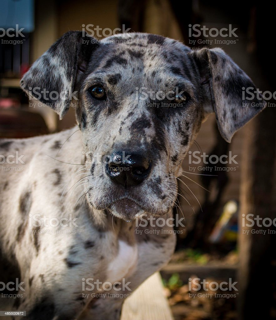 Blue Merle Great Dane Pup Stock Photo Download Image Now Istock
