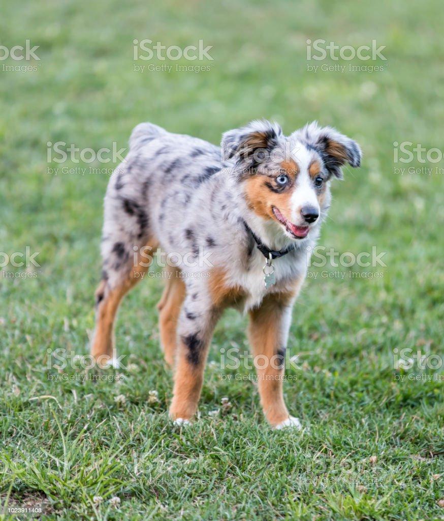 Blue Merle Miniature American Shepherd Puppy Standing Stock Photo Download Image Now Istock