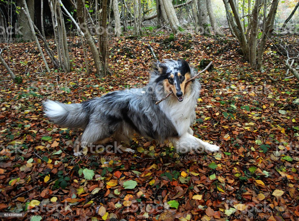 Blue merle rough collie dog playing stock photo