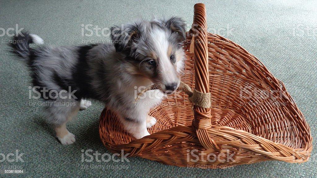 Blue Merle Shetland Sheepdog puppy stock photo