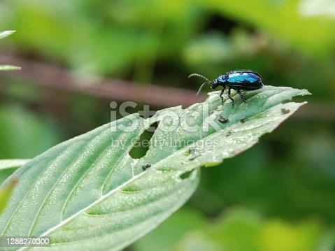 Chrysochus cobaltinus, thecobalt milkweed beetleorblue milkweed beetle,is a member of the diverse familyleaf beetles(Chrysomelidae). It occurs in theWestern United StatesandBritish Columbia