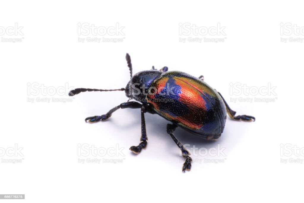 Blue Milkweed Beetle : Scientific Name Chrysochus pulcher Baly, isolated on white stock photo
