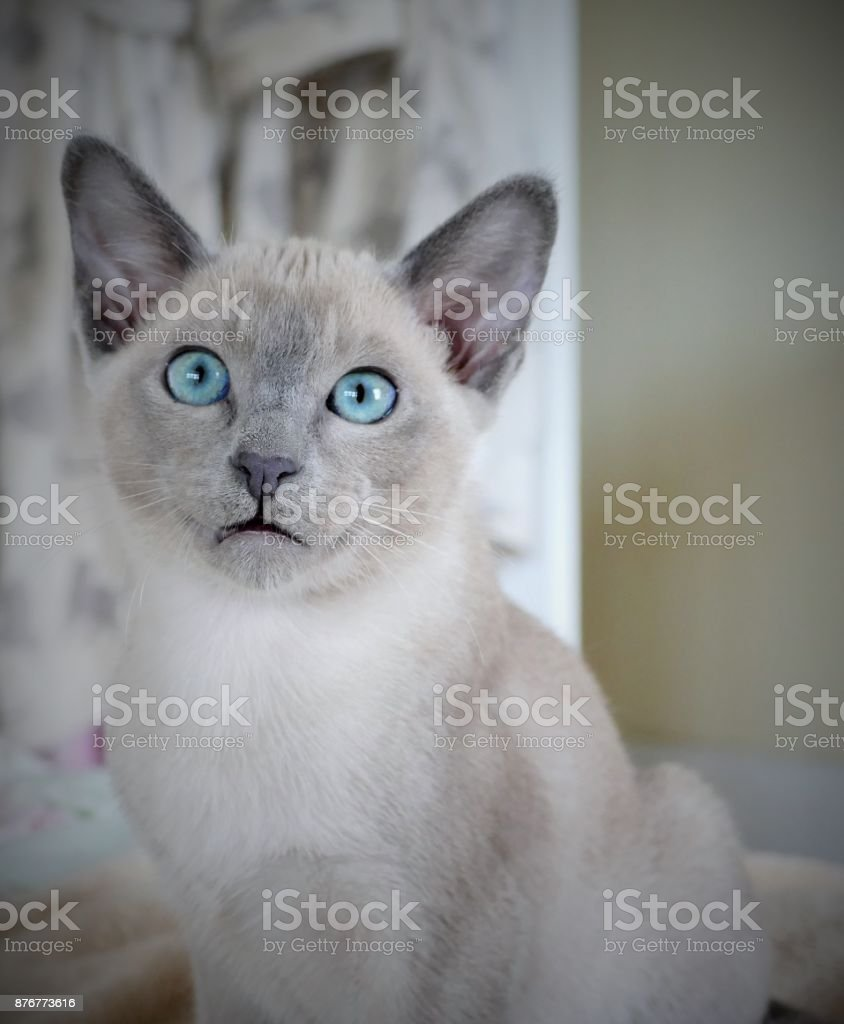 Blue mink Tonkinese kitten with aqua eyes stock photo