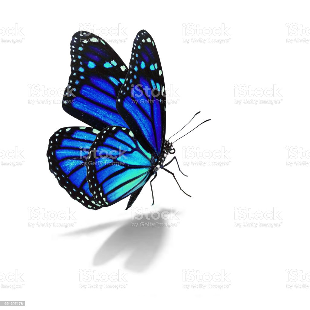 blue monarch butterfly stock photo