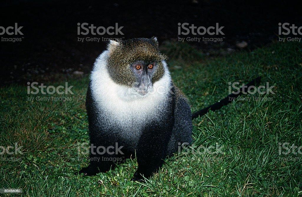 Blue monkey 免版稅 stock photo