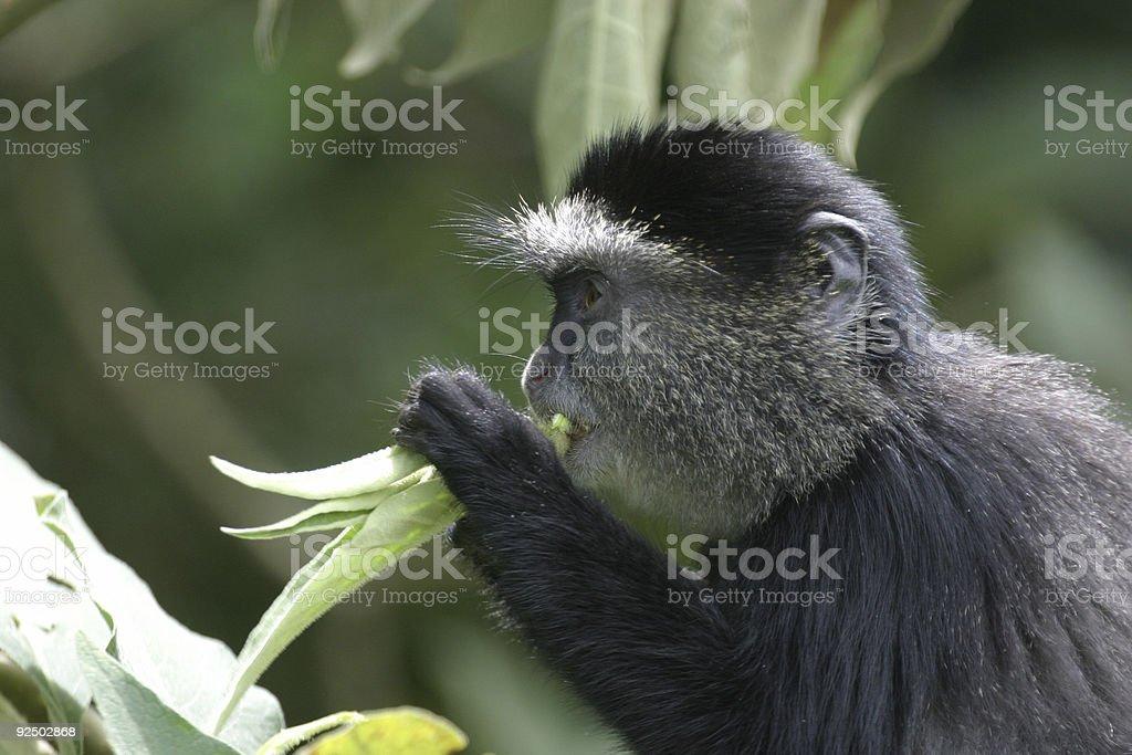 Blue Monkey royalty-free stock photo