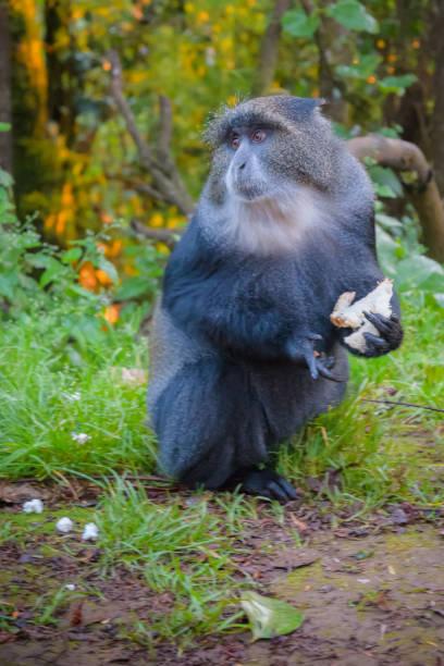 besuch in der kilimanjaro rainforest camp diademmeerkatze - gorilla brot stock-fotos und bilder
