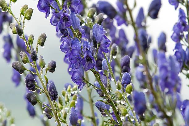 Blue monkshood à jets de pluie. - Photo