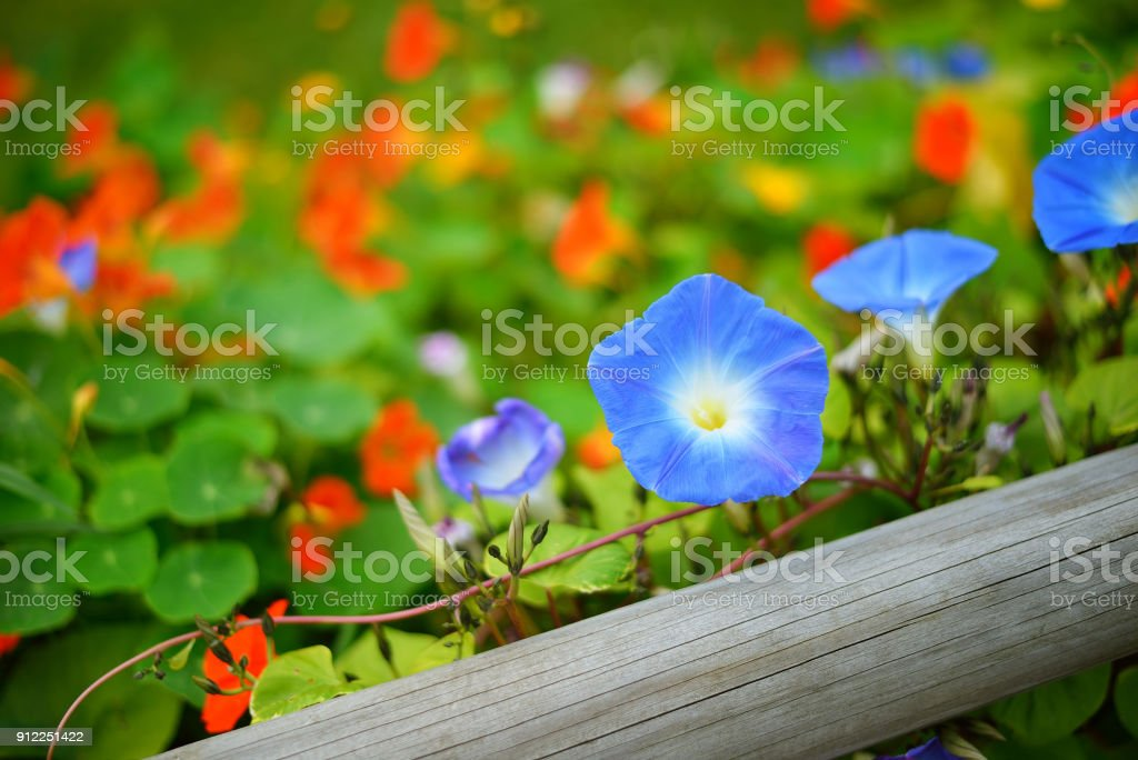 Blue morning glory and orange nasturtium (Tropaeolum) flowers on a wooden fence. Colourful flowerbed. stock photo