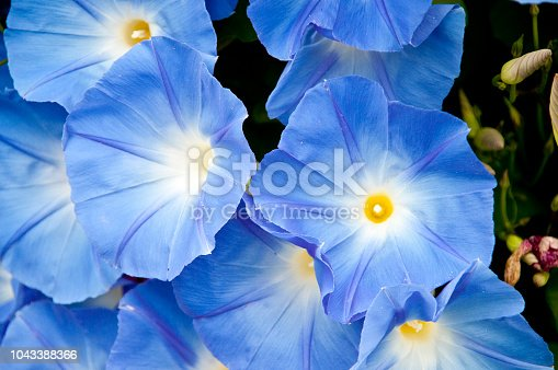 Blue morning glory flower in the garden