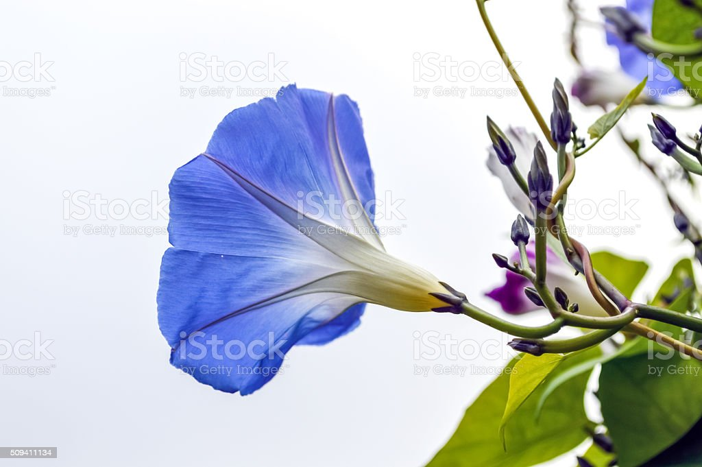 Blue Morning Glory Flower stock photo