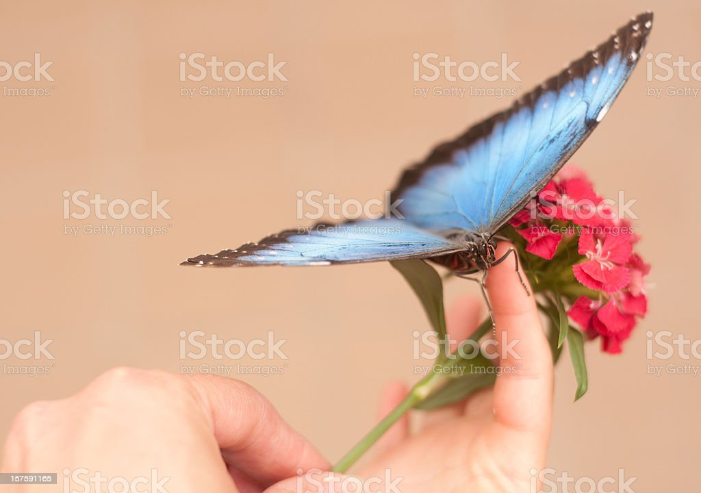 Blue morpho butterfly and red flowers with human hands stock photo