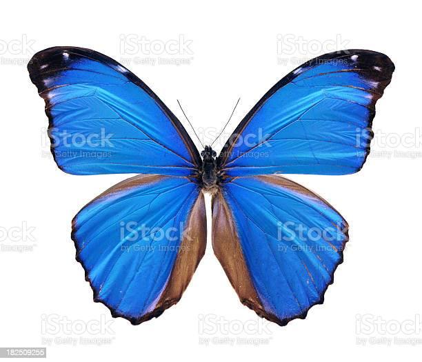 Blue morpho butterfly large picture id182509255?b=1&k=6&m=182509255&s=612x612&h=fotq z ix2 hg7ggfaruh7tqagay7pu9hvb u4muuqk=