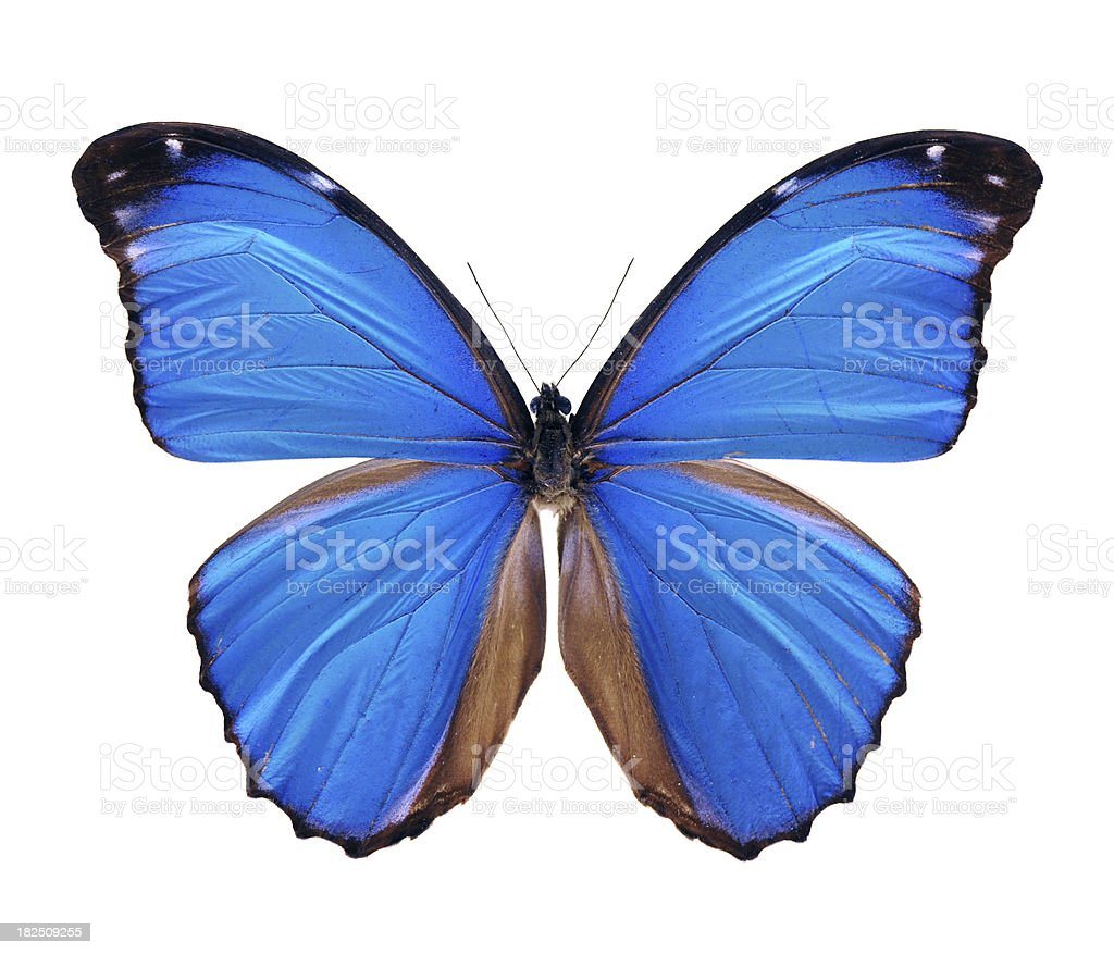 Blue Morpho Butterfly - Large stock photo