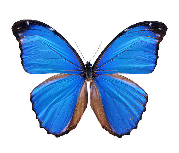 blue morpho butterfly - large - symmetry stock pictures, royalty-free photos & images