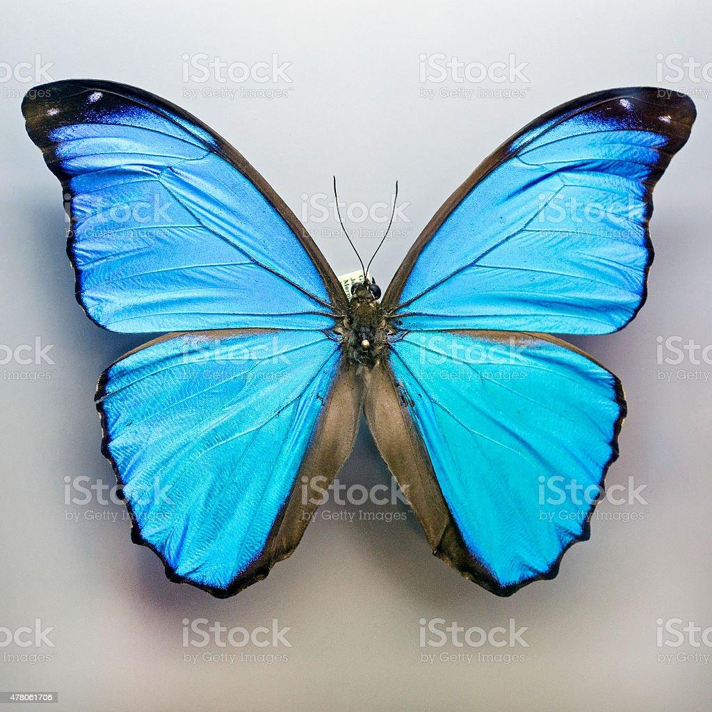 blue morpho butterfly, Morpho menelaus, preserved and pinned stock photo