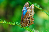 Butterfly - Insect, Morpho Butterfly, Close-up, Pattern, Animal Wildlife, Tropical Climate, Tropical Pattern, Springtime