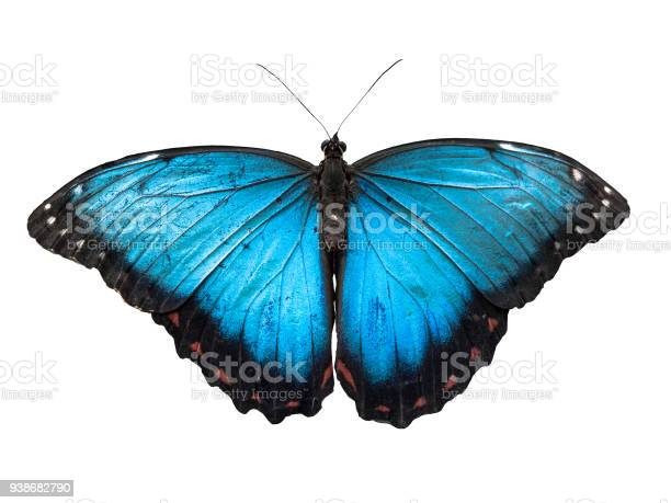 Blue morpho butterfly morpho peleides isolated on white background picture id938682790?b=1&k=6&m=938682790&s=612x612&h=yzellx ft  bkpvnd8ndb6euonhhkqjsdbntg6l fjy=