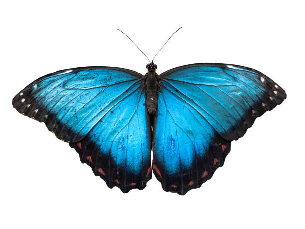 Blue morpho butterfly morpho peleides isolated on white background picture id938682790?b=1&k=6&m=938682790&s=612x612&w=0&h=iisqbnyoyshoyzht6hkxi ecnm2ww53j4ui3  zkvau=