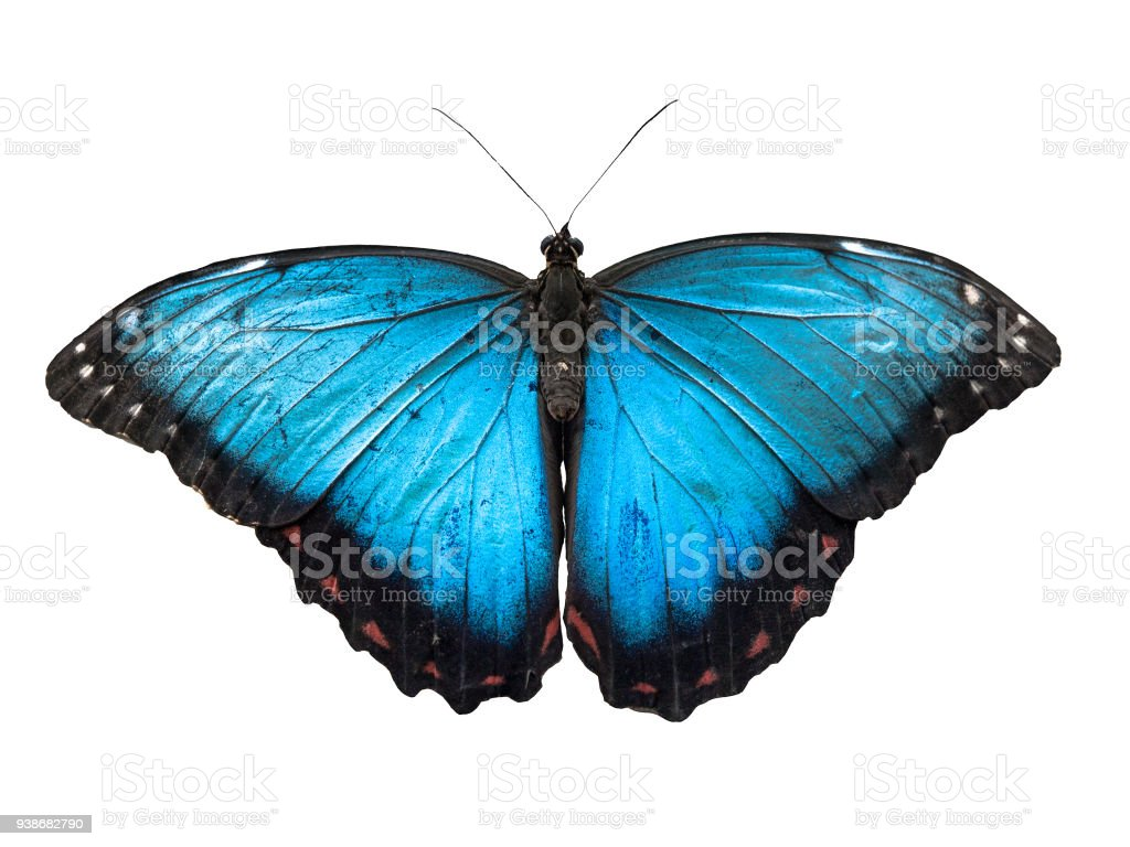 Blue Morpho butterfly, Morpho peleides, isolated on white background stock photo