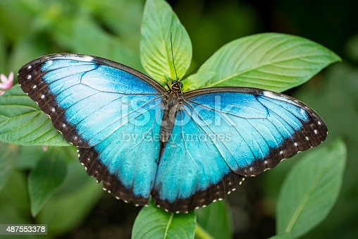 Blue morpho butterfly (Morpho peleides) on a tropical plant leaf. Image taken in Costa Rica.