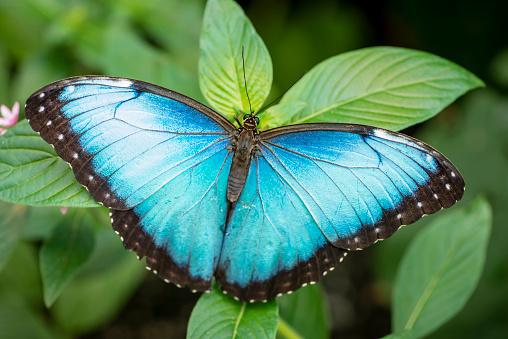 Blue morpho butterfly (Morpho peleides) on a tropical plant leaf. Image taken in Costa Rica.