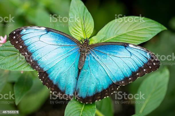 Blue morpho butterfly morpho peleides picture id487553378?b=1&k=6&m=487553378&s=612x612&h=eae dno ioj fiicdk65o890e f0u2ypyhtupueu0mi=