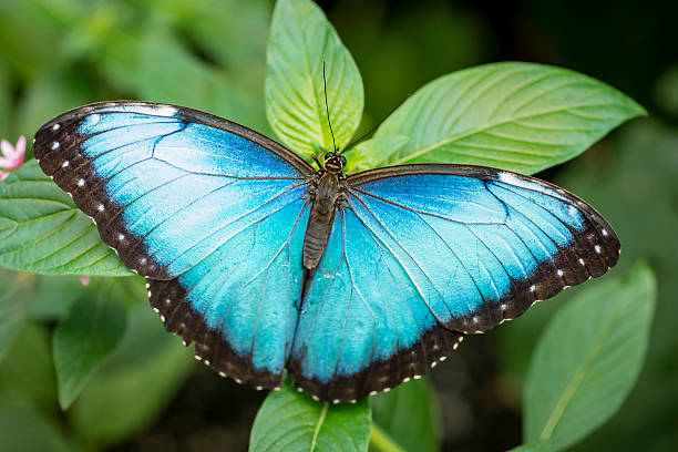 Blue morpho butterfly morpho peleides picture id487553378?b=1&k=6&m=487553378&s=612x612&w=0&h=aspewlkmw4 cbbdznew5fkuynhy5eextnuutdpqvo98=