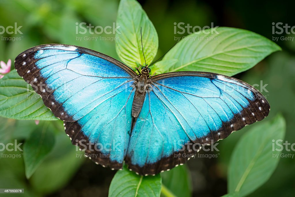XXXL: Blue morpho butterfly - Morpho peleides stock photo