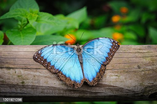 Blue Morpho Butterfly, Morpho peleides, resting on a tree trunk with its beautiful blue wings spread wide.