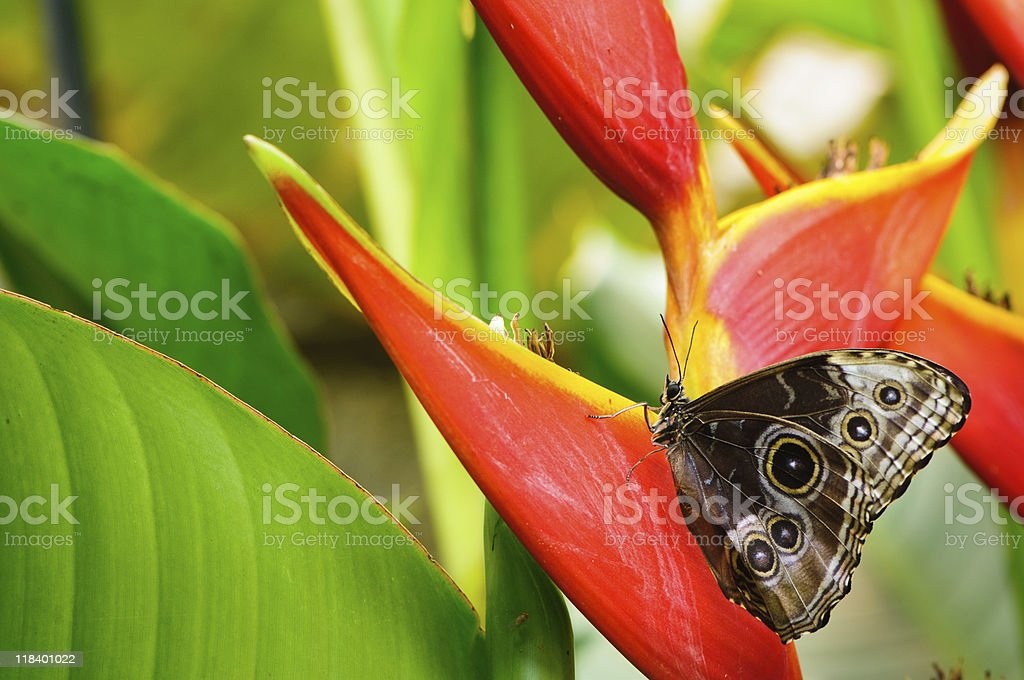 Blue morpho butterfly on a tropical plant stock photo