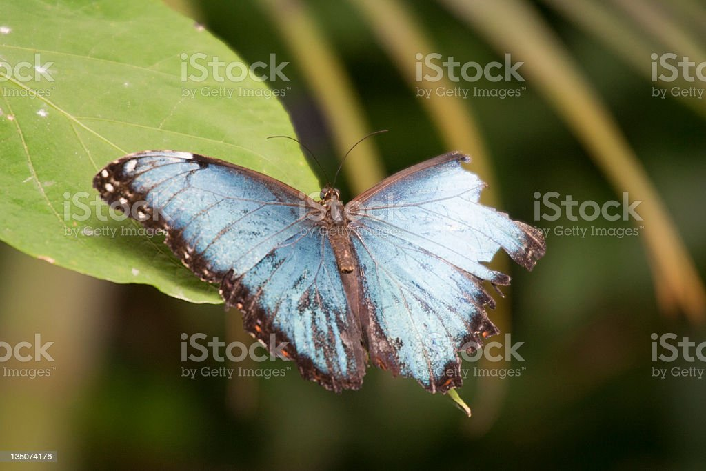Blue Morpho Butterfly on Leaf royalty-free stock photo