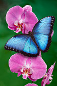 Blue Morpho butterfly or a pink orchid flower with green background. Found mostly in South America, Mexico, and Central America.