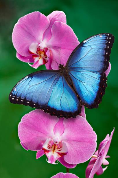 Blue morpho butterfly or a pink orchid flower picture id1029179004?b=1&k=6&m=1029179004&s=612x612&w=0&h=cuuglpsddbufs6wsslzh8j6hke3ainqzsyyzounqgrm=