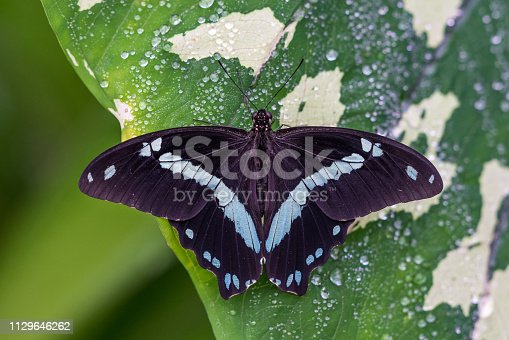 Blue morpho butterfly or the emperor, morpho peleides resting on a flower with his beautiful big wings.