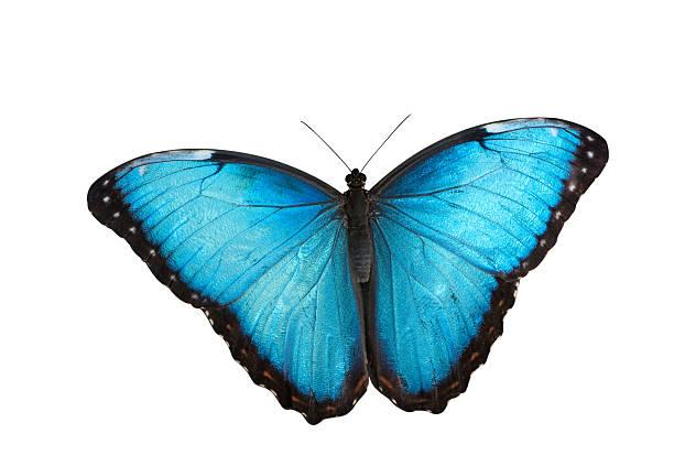 Blue morpho butterfly picture id121081490?b=1&k=6&m=121081490&s=612x612&w=0&h=z3hwvpps1tro8i9ie4b yuzq lfp1zvxr5xz2keldwg=