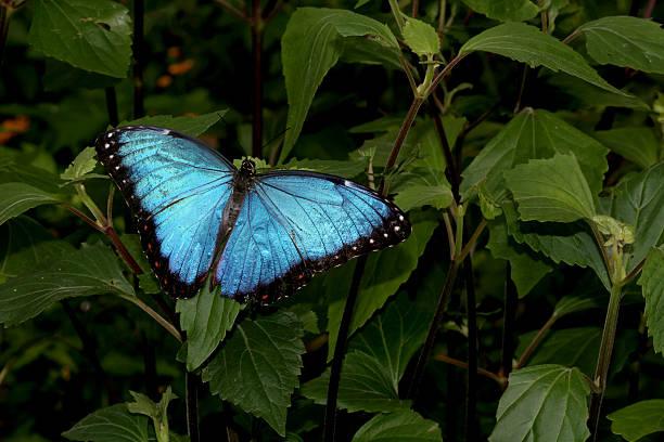 Blue morpho butterfly picture id157282408?b=1&k=6&m=157282408&s=612x612&w=0&h= 6 16mzx21jbcuyaznwa  hlew idzpieutuabx4vhw=