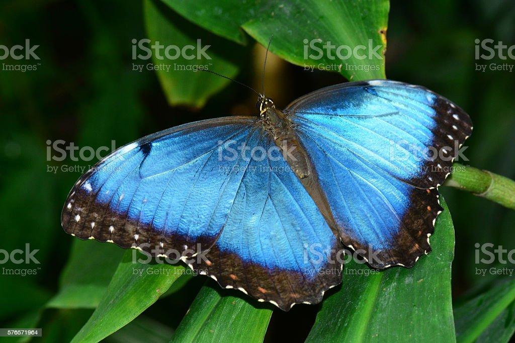 Blue morpho butterfly. stock photo