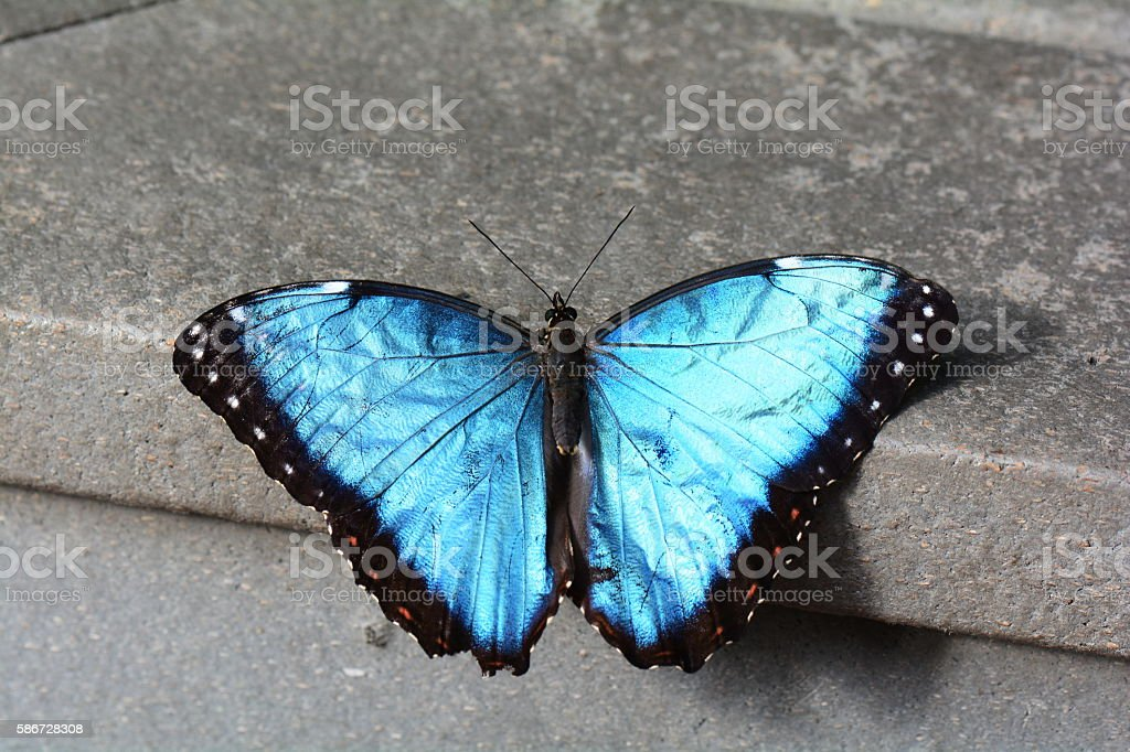 Blue morpho butterfly. stock photo