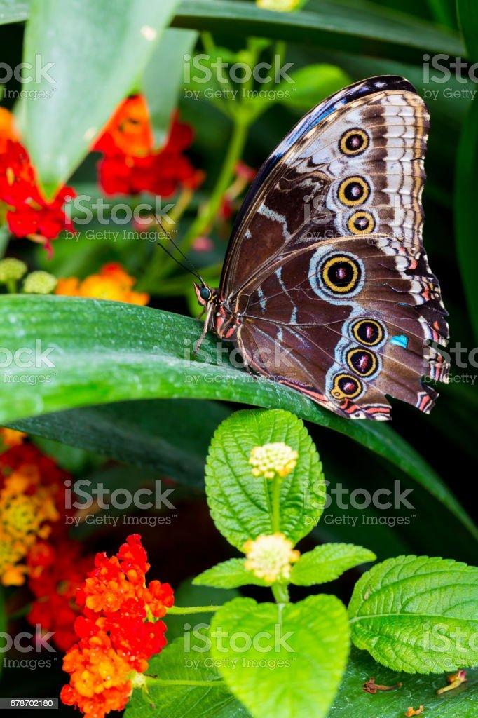 Blue Morpho Butterfly. photo libre de droits
