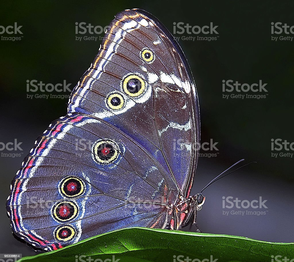 Blue Morpho Butterfly royalty-free stock photo