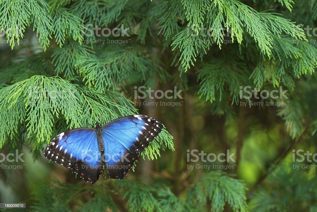 Blue Morpho butterfly resting on cypress branch stock photo