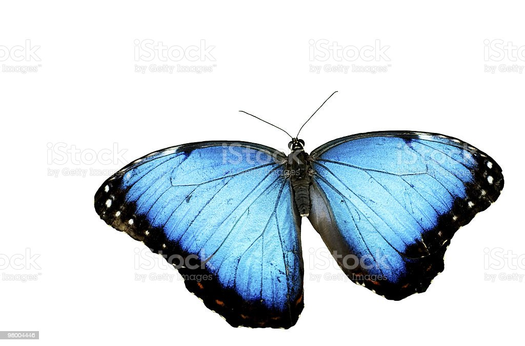 Blue Morpho Butterfly White Background royalty-free stock photo