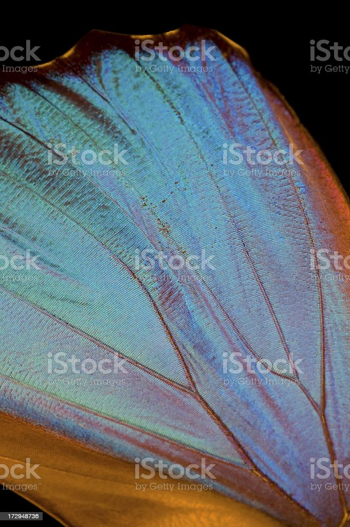 Blue Morpho Butterfly Wing royalty-free stock photo